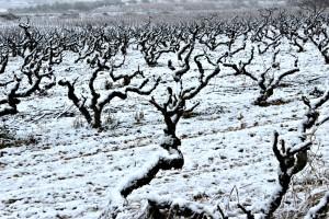 Vinyes nevades a Nulles. Foto: Tarragona21