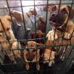 Uns 90 gossos abandonats a Tarragona van ser adoptats per protectores alemanyes l'any 2014