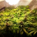 Dos detinguts per cultivar 686 plantes de marihuana a la Pobla de Montornès