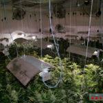Detinguts dos germans de Roda de Berà amb una plantació interior de 2.000 plantes de marihuana