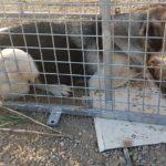 Cambrils captura un gos que havia atacat a més de 60 corders