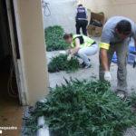 Els Mossos intervenen més de 900 plantes de marihuana al Baix Camp