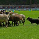 Els gossos d'atura tornen aquest diumenge a Prades
