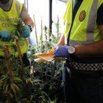 Desmantellen més de 200 plantes de marihuana en un habitatge ocupat a Miami Platja