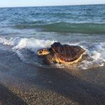 Amplien a la Costa Daurada el pla de recuperació de tortugues capturades accidentalment
