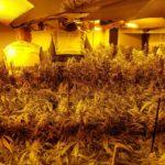 La Guàrdia Civil i la Policia Local de Mont-roig desmantellen una plantació de marihuana
