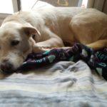 Bogeria per adoptar un gos: les protectores rebutgen que sigui només durant el confinament