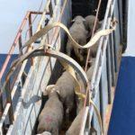 Augmenta l'exportació de bestiar viu al Port