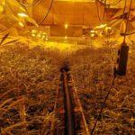 Almenys set detinguts i 2.000 plantes de marihuana intervingudes pels Mossos d'Esquadra al Tarragonès