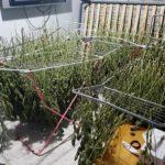 La Guàrdia Civil desarticula un grup organitzat dedicat al cultiu i tràfic de marihuana a Reus, Castellvell i El Catllar