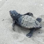 Comencen a néixer les tortugues careta del primer niu de la platja de Vila-seca