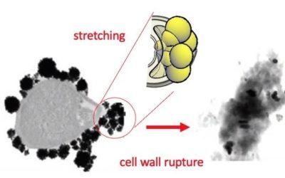 Un equip internacional amb investigadors de la URV busca alternatives als antibiòtics amb nanopartícules… d'or