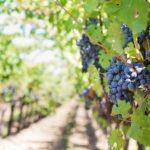Eurecat participa en un projecte que reduirà l'ús del coure en vinyes i el seu impacte ambiental