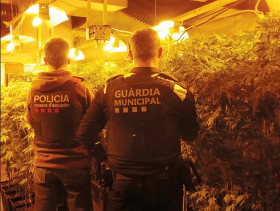 La Guàrdia Municipal i els Mossos desmantellen una plantació de marihuana a Riudoms