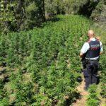 Ingressa a presó pel cultiu d'una plantació de marihuana a l'Alt Camp