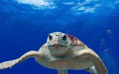 El GEPEC-EdC busca voluntaris per ajudar a protegir la tortuga babaua i els seus nius a les platges catalanes