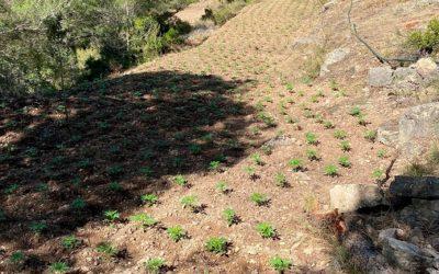 Localitzen una altra plantació de marihuana a Querol, amb més de 9.000 plantes dins del bosc