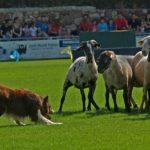 Prades ajorna el concurs de gossos d'atura que s'havia de celebrar l'1 d'agost