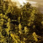 Desmantellada una plantació amb 403 plantes de marihuana en una masia de Riudoms