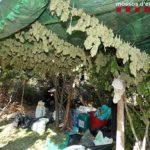 Desarticulen una organització dedicada al cultiu de marihuana en zones boscoses del Priorat