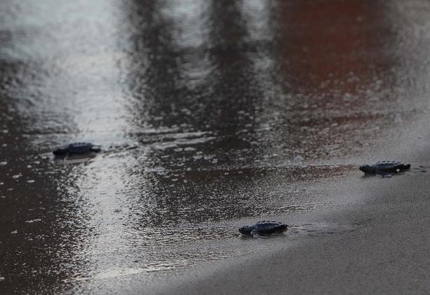 Alliberades 6 tortugues nascudes al niu de la platja del Miracle